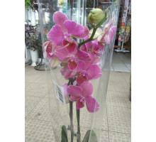 Орхидея фаленопсис 2 ствола розовая
