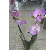Орхидея фаленопсис 2 ствола бело-фиолетовый