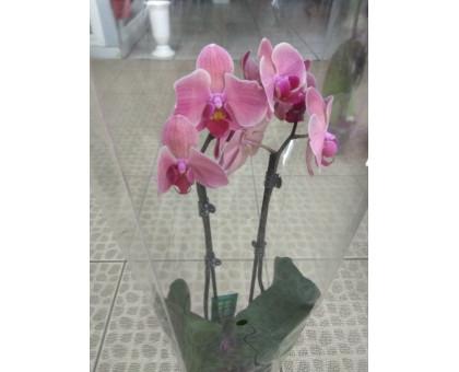 Орхидея фаленопсис 2 ствола розовый с красными тонами