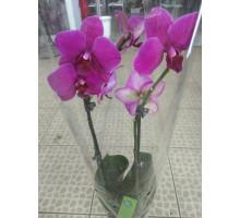 Орхидея фаленопсис 2 ствола темно-розовый