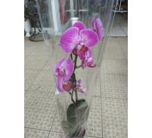 Орхидея фаленопсис 2 ствола розовый с белым