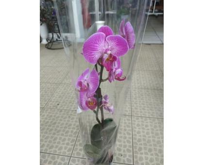 Орхидея фаленопсис 2 ствола бело-темно-фиолетовый