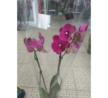 Орхидея фаленопсис 2 ствола темнолиловый