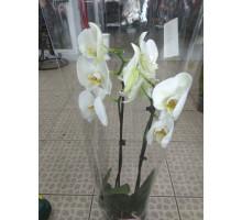 Орхидея фаленопсис 2 ствола белый