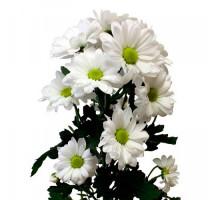 Хризантема Баккарди белая
